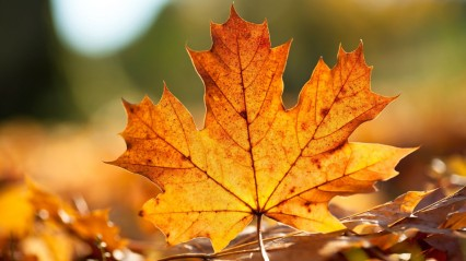 Autumn-Maple-Leaf-Close-Up-Leaf-Nature-900x1600
