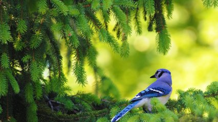 blue-jay-in-the-pine-tree-303106