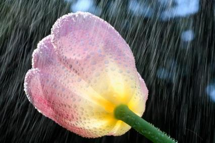 rain-falling-on-a-tulip-craig-tuttle