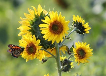 sun flower butterfly