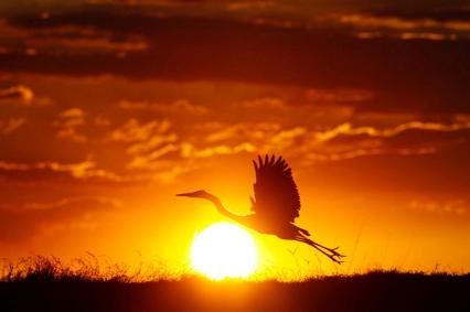 Grey-Heron-Sun