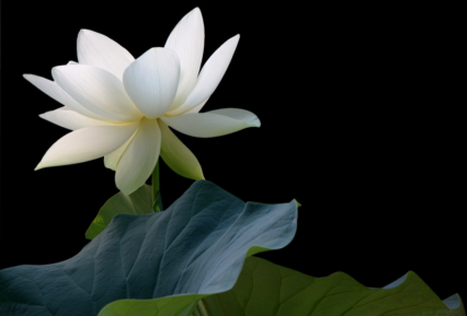 green yellow lotus.png