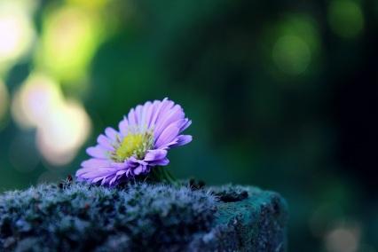 lavendar daisy