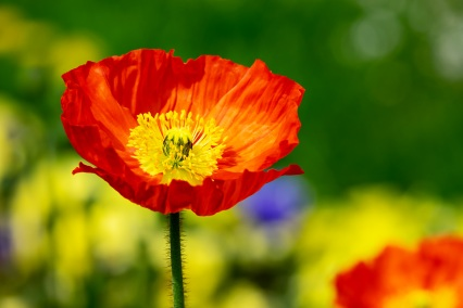 orange yellow poppy