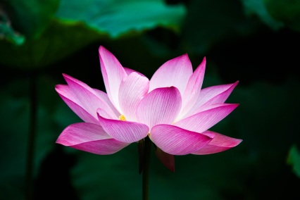 pink lotus emerald green background