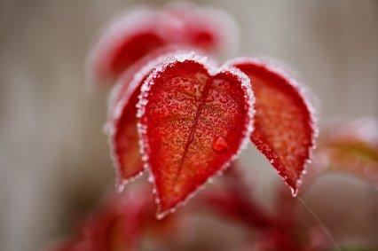 frozen red leaf