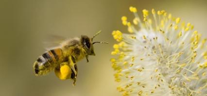 big_bee-friendly-garden-bee-with-pollen-2x